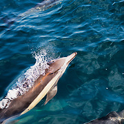 Common Dolphins swim beside a ferry in the Santa Barbara Channel, the area of the Pacific Ocean between the Channel Islands and the coastline of Southern California.