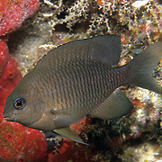 Dusky Damselfish inhabit shallow surgy reef and areas of rocky rubble in Tropical West Atlantic; picture taken Roatan, Honduras.