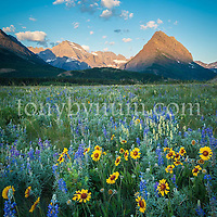 wild flowers bloom many glacier valley, grinnell point glacier national park