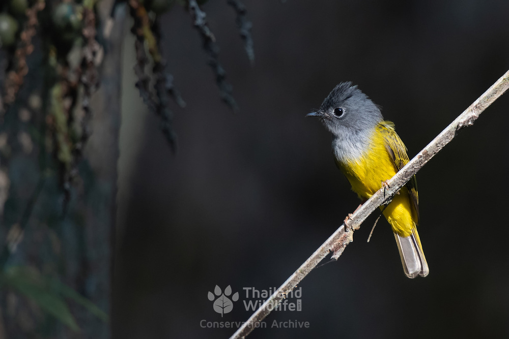 The grey-headed canary-flycatcher sometimes known as the grey-headed flycatcher (Culicicapa ceylonensis) is a species of small flycatcher-like bird found in tropical Asia. It has a square crest, a grey hood and yellow underparts.