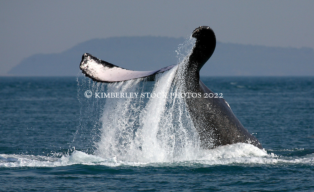 Water cascades off a Humbpack whale's tail in Camden Sound on the Kimberley coast of Western Australia.