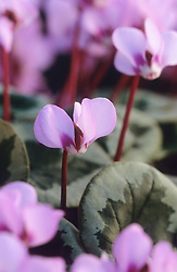 Cyclamen coum ( selected leaf )