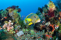 A Sweetlips hold in a reef crevice heavily encrusted with soft corals and crinoids<br /> <br /> Shot in Indonesia