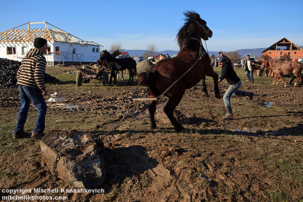 Romanian gypsy (Roma) men demonstrating the power of the horse which they are selling at a market