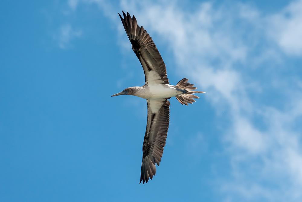 Blue-footed booby in flight, Galapagos Islands, Ecuador.
