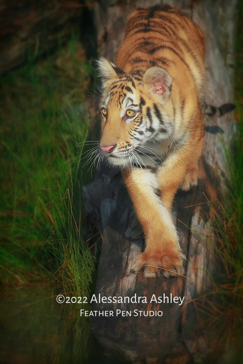 Tiger cub walking down a log, approaching a pond.  Photographed in naturalistic habitat within controlled setting.