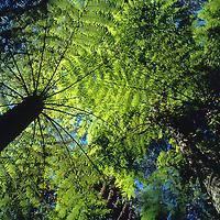 Tree fern viewed from below. At Mt. Tomah Botanic Gardens.
