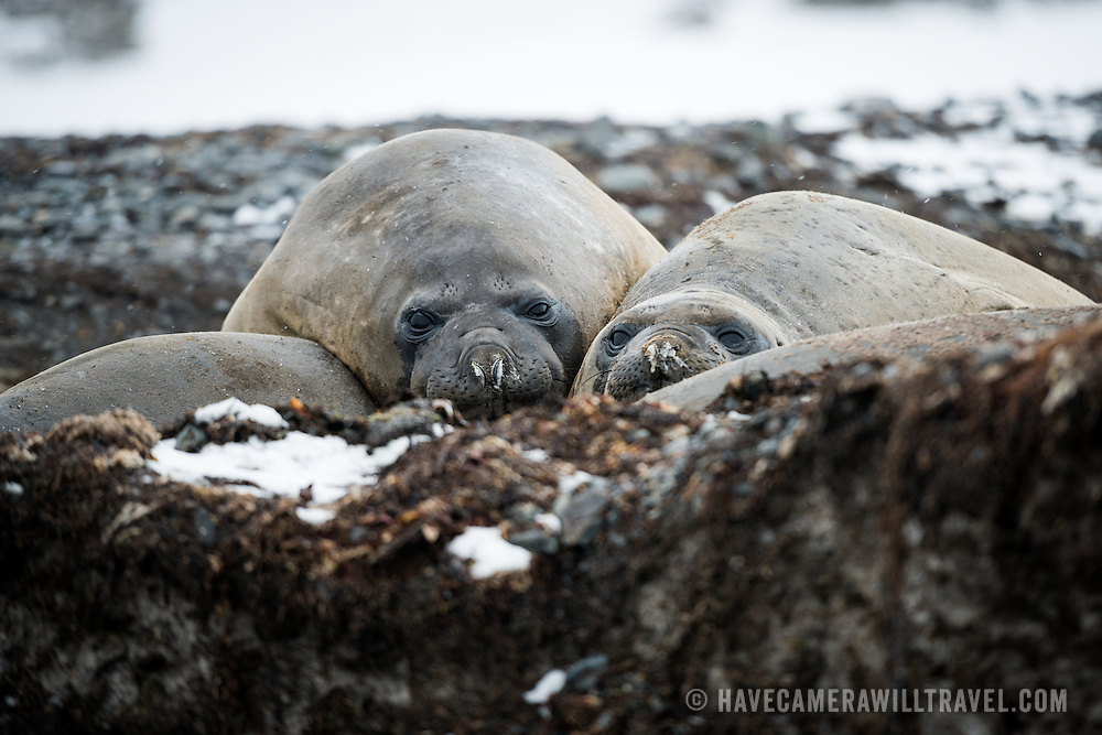 Three Southern Elephant seals on the beach on Livingston Island in the South Shetland Islands, Antarctica.