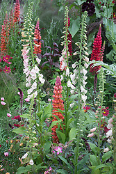Digitalis 'Sutton's Apricot' with Lupinus 'Terracotta'