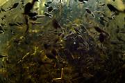 Common European toad (Bufo bufo) tadpoles congregating in a lake, Selent, Northern Germany | Kaulquappen der Erdkröten (Bufo bufo), Etwa 3 Monate sind die Kaulquappen im Gewässer unterwegs und Formen gelegentlich  große Schwärme von tausenden von Individuen. Selent, Deutschland