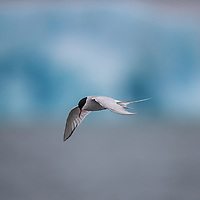 Arctic Tern with Iceberg