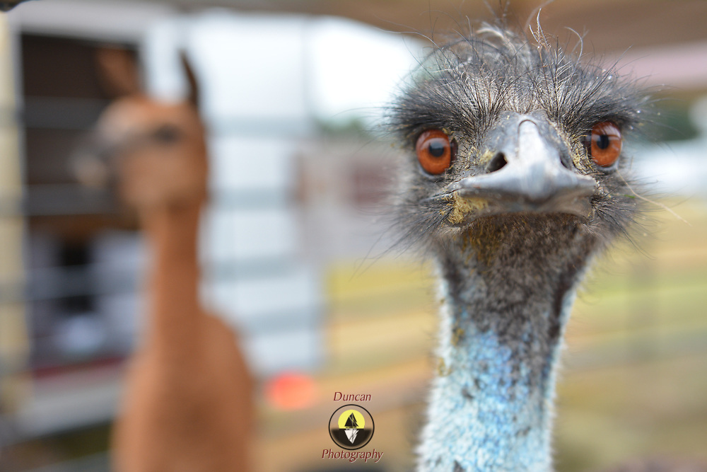 TOPSHAM, Maine- 8/8/17 -- George, an emu, from RMT Farm in Litchfield, Maine poses for a portrait at the Topsham Fair on Tuesday. The fair is open now and closes on Sunday, August 13.  Photo by Roger S. Duncan for the Forecaster.