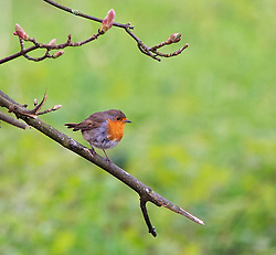 © Licensed to London News Pictures. 18/04/2019.<br /> Sidcup,UK.A robin perched on a branch, Morning misty and foggy weather is slowly disappearing as the sun comes up at Footscray Meadows in Sidcup, South East London.Photo credit: Grant Falvey/LNP