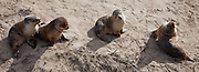Australian Sea Lion Pups Panoramic (12x33-inch)
