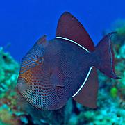 Caribbean Triggerfish