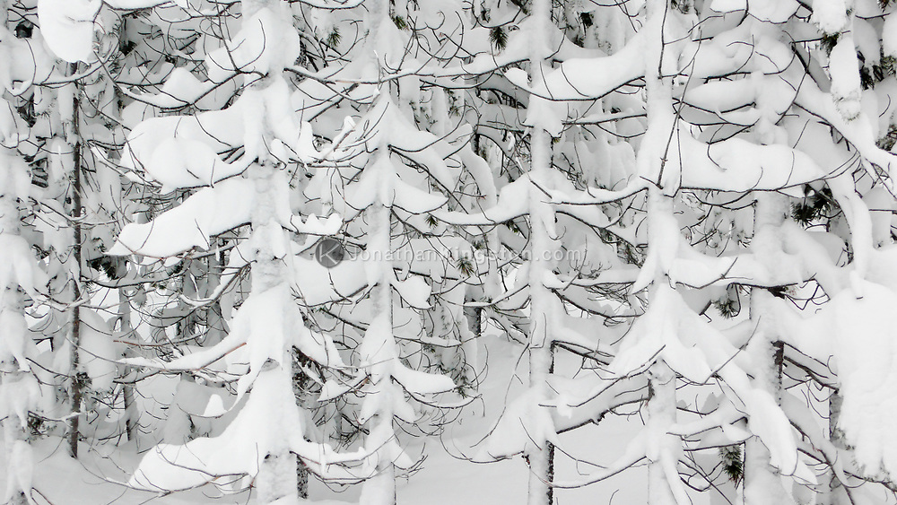 Side view of tree branches covered in fresh snow in Bend, Oregon.