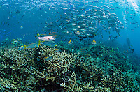 Schools of reef fish over healthy hard corals:<br /> Sweetlips, Damsels, Trevally, and Fusiliers<br /> <br /> Shot in Indonesia
