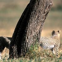 Africa, Kenya, Masai Mara Game Reserve, Cheetah cubs (Acinonyx jubatas) walking around base of acacia tree