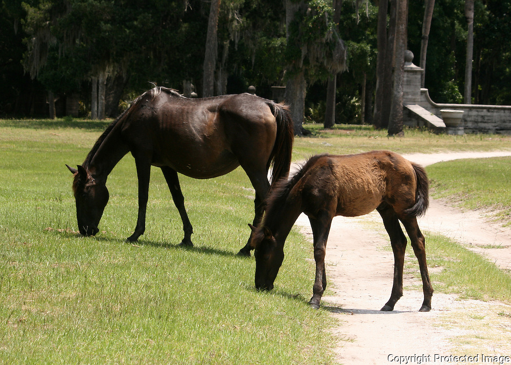 Cumberland Island wild mare and colt grazing next to a dirt path.