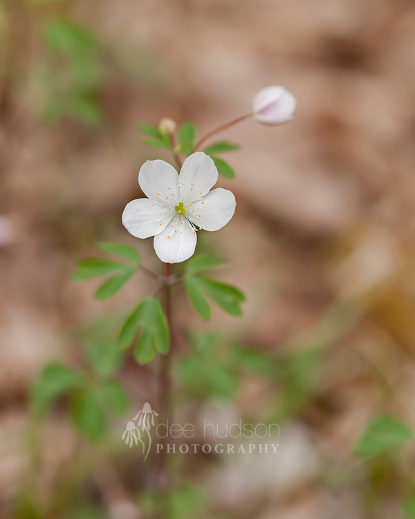 This lovely Illinois wildflower brightens the woodland floor in springtime, with its delicate bloom resting on the top of a slender stem.<br />