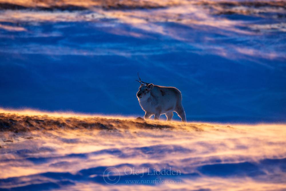 Svalbard Reindeer (Rangifer tarandus platyrhyncus) at Spitsbergen, Svalbard