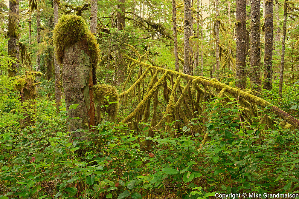 Coastal rain forest on Golden Spruce Trail. PortClements. Graham Island. , Haida Gwaii (formerly the Queen Charlotte Islands), British Columbia, Canada