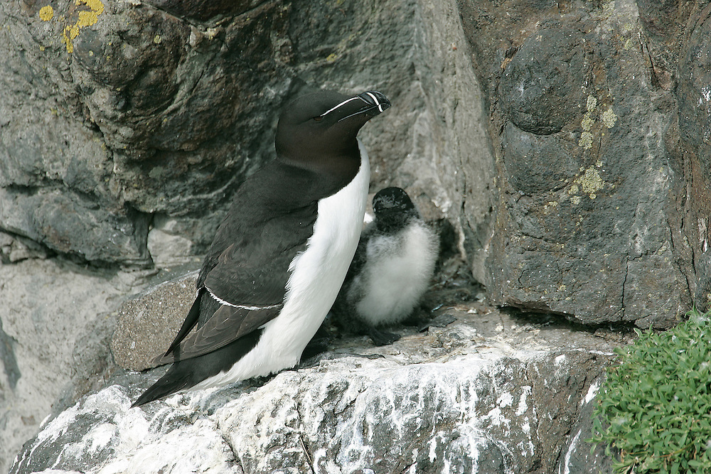 Razorbill Alca torda L 41cm. Bulky seabird with distinctive bill and essentially black and white plumage. Swims well and flies on whirring wingbeats. Sexes are similar. Adult in summer has black head, neck and upperparts, and white underparts; note white wingbar. Bill is large and flattened with vertical ridges and white lines. In winter, similar but throat and cheeks are white and bill is smaller. Voice Mostly silent. Status Locally common on rocky coast seabird colonies in W and N. Nests under boulders and in crevices on cliff ledges. Pelagic outside breeding season; healthy birds seldom seen close to land. Vulnerable to oil spills.