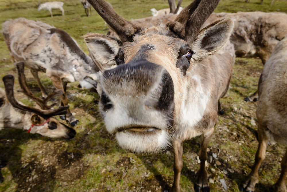A close-up of reindeer in a Dukha (Tsaatan) reindeer herder community, Mongolia. Reindeer are attracted by the minerals in human urine. Approximately 200 families comprise the Tsaatan or Dukha community in northwestern Mongolia, whose existence is intimately linked to their herds of reindeer. Photo © Robert van Sluis