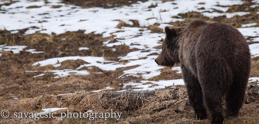 Grizzly bear in spring.