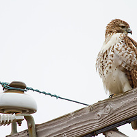 An Red Tailed Hawk sitting on a perch overlooking Raritan Bay Sandy Hook New Jersey.