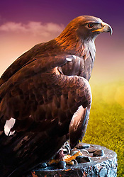 Donald is a Golden Eagle Ambassador at the National Eagle Center in Minnesota.  Donald had his right wing broke in two places when he was hit by a car in California. Donald can no longer sustain flight due to his injury...Golden eagles can be found around the world in the northern hemisphere.  Due to Donald's accident he is now able to help visitors at the National Eagle Center understand and learn about the life and habitat of golden eagles.