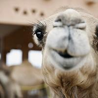 Al-Ain (Abu Dhabi), United Arab Emirates 04 April 2009<br /> A camel in a market.<br /> Photo: Ezequiel Scagnetti