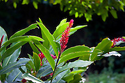 Red Ginger Flower, Fern Grotto, Wailua River, Kauai, Hawaii