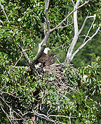 Idaho.  Bonners Ferry Bald Eagle with remaining young eagle on nest not ready to fly at the Kootenai National Wildlife Refuge