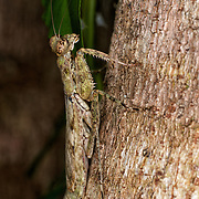 Humbertiella sp. Mantis, AKA Bark Mantis, in Khao Ang Rue Nai Wildlife Sanctuary.