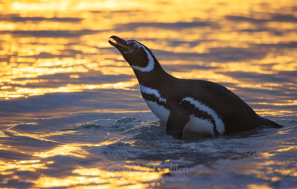 Magellanic Penguin (Spheniscus magellanicus) at sunrise in the Falkland Islands