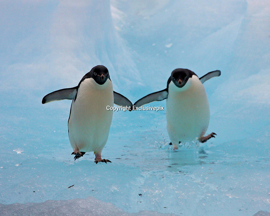 Dancing penguins<br /> It Seems these two cant make up their minds if they want to audition for the sequel of Happy Feet or March of the Penguins - it looks like they are practicing for both. The amazing moment, captured by renowned wildlife photographer Sue Forbes, and she thinks its hilarious. Sue has caught many of the worlds most amazing species with her camera lens, but its moments like this that she says makes her work really worthwhile. The former Royal Air Force engineer officer and product management executive in the high tech companies of Silicon Valley, California, has turned to her biggest passion, photography, full time, and has travelled the world. Of the amazing penguin shot, Sue said: I was heading down to the Antarctic from New Zealand, and the first landing on the continent of Antarctica was at Cape Adare in the Ross Sea Region. I sat watching the local Adelie colony as the penguins made their way from the nest to the sea to fish.  To get there they had to navigate what is colloquially called 'bergie bits', which are broken up bits of icebergs that collect round the shore.  Now penguins are gracious in the water but on land they are ungainly and were hopping, jumping, slipping and sliding as they made their way to the sea.  As I watched this pair they both leaned together and touched flippers, making it look like they are dancing and I snapped the moment. It was a fun moment and certainly made me smile as it was tough watching the penguins work so hard to get to and from their feeding grounds. Sue, who has based herself in San Mateo, California,.<br /> &copy;Sue Forbes/Exclusivepix