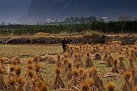 Man harvesting rice in the fields around Yangshuo.