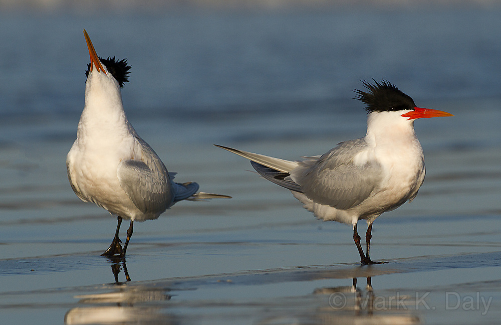 Elegant Tern Couple