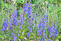 Native to Britain and Ireland, bluebells are found growing wild across most of North America. Although invasive, these common and spectacularly beautiful wildflowers are found in rich soils - such as these early summer bloomers found growing along the lower slopes of the Cascades Mountains in Northern Oregon.