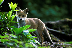 Red fox (vulpes vulpes), stood looking to camera in a woodland clearing, near Loughborough, Leicestershire, England, UK.