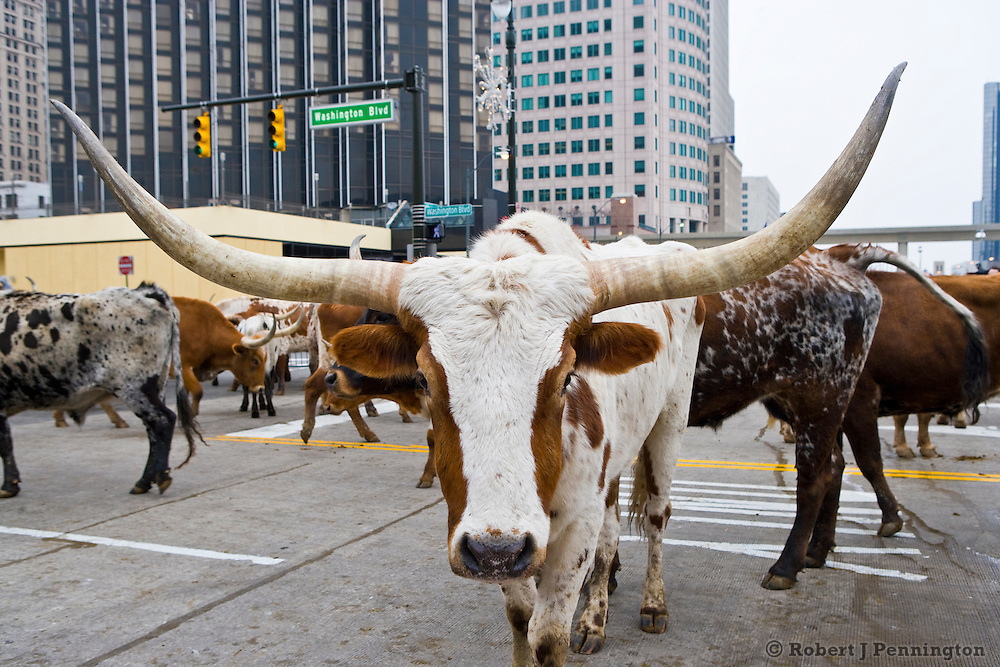 North American International Auto Show, 2008. Held in Detroit Michigan, January 19-27, 2008. Introduction of the 2009 Dodge Ram 1500. A herd of Longhorn Steers on Washington Blvd. in front of COBO Hall. Editorial use only.
