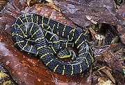 Mangrove Snake; Boiga dendrophila; aka Golden-ringed Catsnake; Borneo in Rain Forest