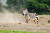 Cape Zebra stallion dust bathing, De Hoop Nature Reserve and marine protected area, Western Cape, South Africa