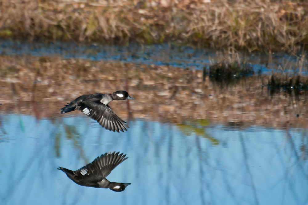 A female bufflehead ducks flying at Magnuson Park in Seattle, Washington on Feb. 20, 2011.  Photo by William Byrne Drumm.