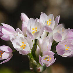 Alliaceae, Lookfamilie