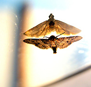 mirror moths, dominical, costa rica