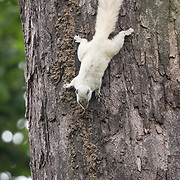 A Variable or Finlayson's Squirrel (Callosciurus finlaysonii) white morph in Pang Sida National Park, Thailand.