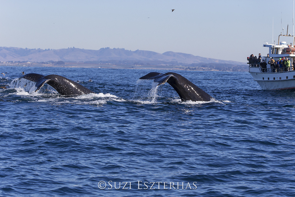 Humpback Whale<br /> Megaptera novaeangliae<br /> Diving next to whale watching boat<br /> Monterey Bay, California