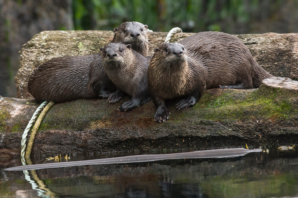 A group of river otters, Lontra canadensis, rests on a log in God's Pocket Provincial Park offshore Vancouver Island, British Columbia, Canada.